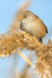 Bearded Tit, female - Reedling (Panurus biarmicus) Stock Photography