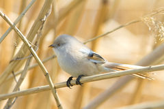 Bearded tit, female - reedling (Panurus biarmicus) Stock Photos