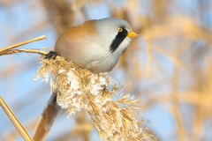 Bearded tit, male Royalty Free Stock Images