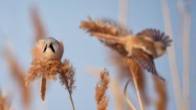 Bearded Tit, male - Reedling Panurus biarmicus. stock image