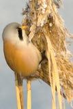 Bearded Tit, male - Reedling (Panurus biarmicus) Stock Image