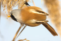Bearded Tit, male - Reedling (Panurus biarmicus) Stock Photography