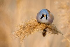Bearded Tit, male - Reedling Panurus biarmicus. Royalty Free Stock Images