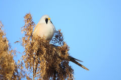 Bearded Tit Royalty Free Stock Images