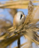 Bearded tit / Panurus biarmicus Stock Photography