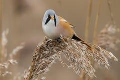 Bearded Tit, Panurus biarmicus. Bird royalty free stock photo