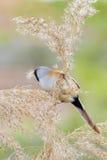 Bearded Tit ( Panurus biarmicus ) Royalty Free Stock Photos