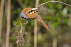 Bearded Tit ( Panurus biarmicus ) Royalty Free Stock Photo