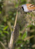 Bearded Tit ( Panurus biarmicus ) Royalty Free Stock Photos