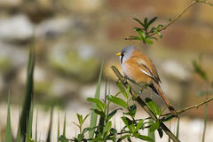 Bearded Tit ( Panurus biarmicus ) Stock Photo