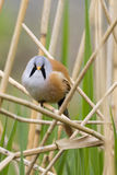 Bearded Tit ( Panurus biarmicus ) Royalty Free Stock Images