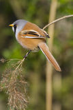 Bearded Tit ( Panurus biarmicus ) Royalty Free Stock Image