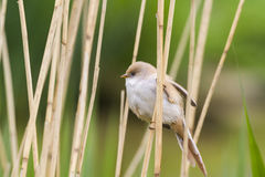 Bearded Tit ( Panurus biarmicus ) Royalty Free Stock Photography
