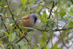 Bearded Tit ( Panurus biarmicus ) Stock Photography