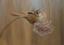 Bearded tit Panurus biarmicus female  Royalty Free Stock Photo