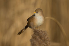 Bearded tit Panurus biarmicus female  Royalty Free Stock Photography