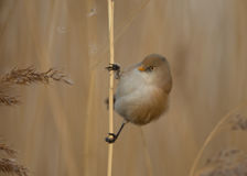 Bearded tit Panurus biarmicus female Royalty Free Stock Image