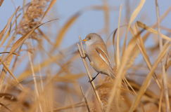 Bearded tit on the reed Royalty Free Stock Photo