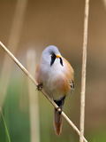 A Bearded Tit on a stem. Royalty Free Stock Images