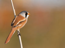 Bearded Tit on a stick of reed Royalty Free Stock Photography