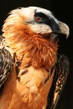 Bearded vulture, Stock Image