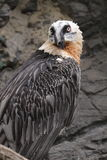 Bearded vulture stock images