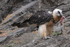 Bearded vulture. The bearded vulture (gypaetus barbatus) eating the meat in the zoo Prague, Czech Republic Stock Photography