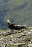 The bearded vulture Royalty Free Stock Photo