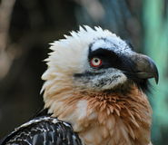 Bearded Vulture Royalty Free Stock Photos