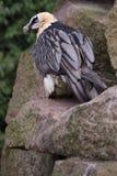 Bearded vulture Stock Photo