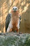Bearded vulture 3 Royalty Free Stock Photo