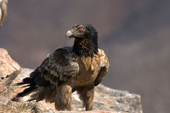 Bearded Vulture. Young Bearded Vulture, South Africa Royalty Free Stock Image