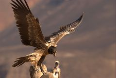 Bearded Vulture. Young Bearded Vulture landing near to the Cape Vultures, South Africa Stock Photo