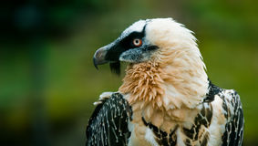 Bearded vulture. (lat. Gypaetus barbatus Royalty Free Stock Photography