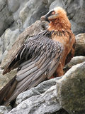 Bearded vulture. A close-up of a bearded vulture Stock Photos