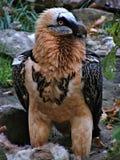 Bearded vulture above the cadaver Stock Photos