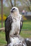Bearded vulture Royalty Free Stock Photo