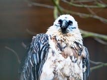 Bearded vulture - bird of prey Royalty Free Stock Image