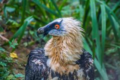 Bearded Vulture close up stock photos