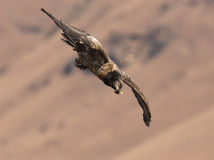 Bearded Vulture diving down Royalty Free Stock Photography