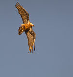 Bearded Vulture exhibiting his skills Stock Photos