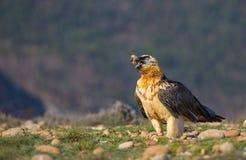 Bearded Vulture feeding Stock Photography