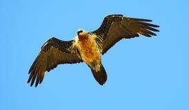 Bearded Vulture in flight. An adult bearded vulture in flight Stock Image
