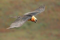 Bearded vulture in flight Stock Image