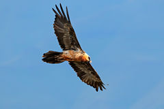 Bearded vulture in flight Royalty Free Stock Images