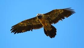 Bearded Vulture in flight. Juvenile Bearded Vulture in Flight Stock Images