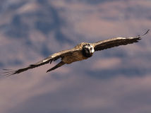 Bearded Vulture in flight turning in the air with wings fully extended. The adult South African Jackal Buzzard is strikingly plumaged. It is almost black above stock photography