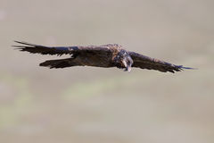 Bearded vulture flying and glide in the mountains Stock Photos