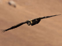 Bearded Vulture flying with wings extended and heading downward Royalty Free Stock Image