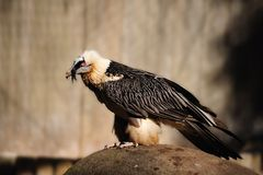 Bearded Vulture (Gypaetus barbatus). The Lammergeier or Bearded Vulture, (Gypaetus barbatus), is an Old World Vulture (Germany Stock Image